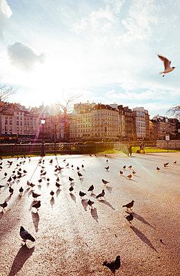 Viele Tauben auf Patz in Paris - p432m1222238 von mia takahara