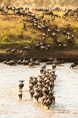 Large group of Wildebeest  surges across the flooded Mara River in Serengeti National Park; Tanzania - p442m1141585 by Kenneth Whitten