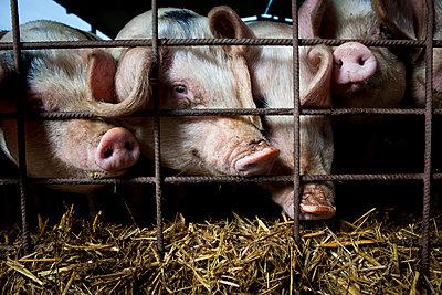 Schweine - p1057m1072093 von Stephen Shepherd