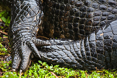 Details of the feet and scales of an American Alligator (Alligator mississippiensis) in Everglades National Park, Florida. - p343m1202351 by Ethan Welty
