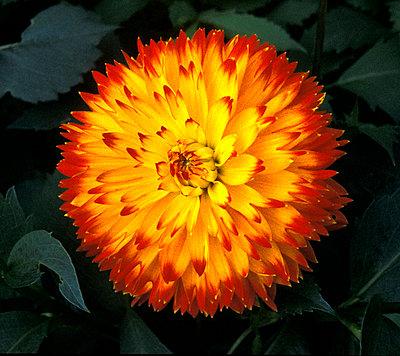 A chrysanthemum bloom - p4421538f by Design Pics
