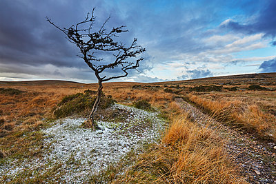 An autumnal view of a wind-gnarled hawthorn tree, on moorland on Gidleigh Common, Dartmoor National Park, Devon, England, United Kingdom - p871m2101296 by Nigel Hicks