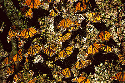 Monarch butterfly-covered tree in wintering grounds - p8844410 by Patricio Robles Gil/ Sierra Madre