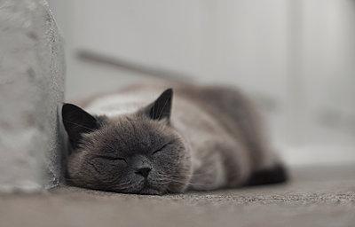 Schlafende Katze - p1324m1441370 von michaelhopf