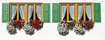 Geranien an Fenster - p979m1116485 von Mayall