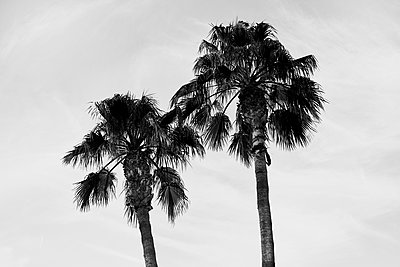 Palm Tree - p1090m1516300 by Gavin Withey