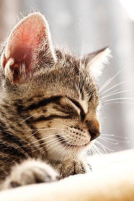 Domestic cat, kitten sleeping, portrait, close-up - p3008720f by Dieter Heinemann