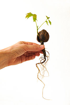 Walnut seedling - p470m934087 by Ingrid Michel