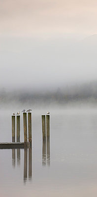 Gulls perched on jetty posts on a misty autumn morning, Derwent Water, Keswick, Lake District National Park, Cumbria, England, United Kingdom, Europe - p8713039 by Adam Burton