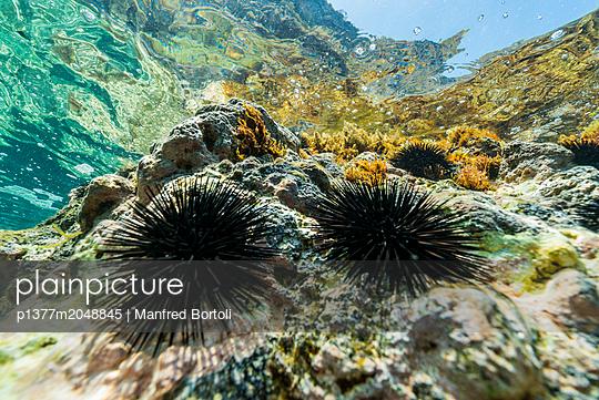 Italy, Sicily, Messina district, Mediterranean sea, Tyrrhenian sea, Tyrrhenian coast, Aeolian islands, Vulcano, Sea urchins under the surface - p1377m2048845 by Manfred Bortoli
