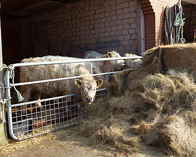 Sheepcows - p1085m880896 by David Carreno Hansen