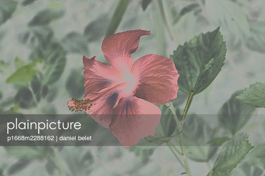 Red flower - p1668m2288162 by daniel belet