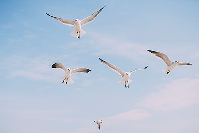 Low angle view of seagulls flying in sky - p1166m1231530 by Cavan Images