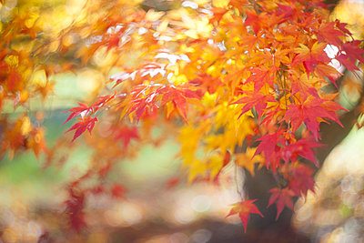 Maple tree and leaves in the fall with stunning colors - p1166m2095487 by Cavan Images
