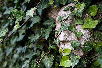 The sculpture of a face covered with ivy, Sweden. - p5755336f by Fredrik Schlyter