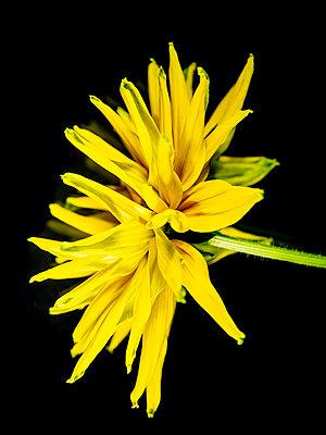 Rudbeckia Blossom - p401m2224609 by Frank Baquet