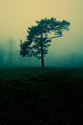 Single tree in misty landscape - p1047m899859 by Sally Mundy
