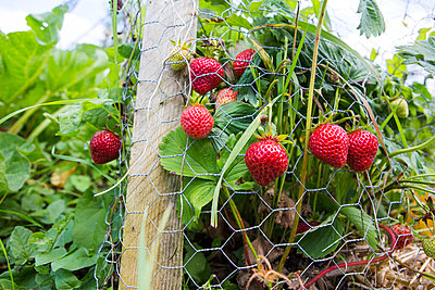 Strawberries in the allotment - p1057m916749 by Stephen Shepherd