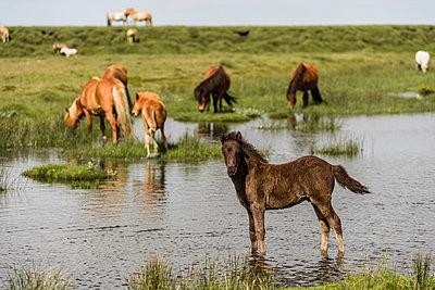 Herd of icelandic horses - p1585m2285364 by Jan Erik Waider