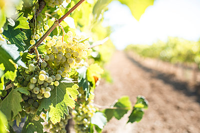 White grapes hanging from vine - p300m1192061 by Deyan Georgiev