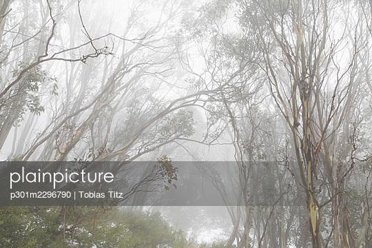 Trees in snowy foggy woods - p301m2296790 by Tobias Titz