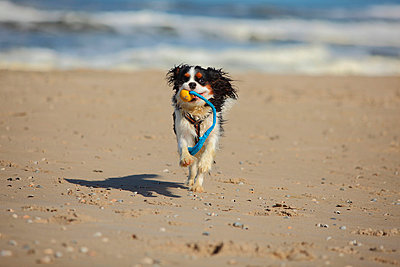 Netherlands, Texel, Cavalier King Charles Spaniel retrieving dog toy on the beach - p300m1028791f by PeeWee photography