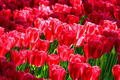 Red tulips - p324m1537864 by Alexander Sommer