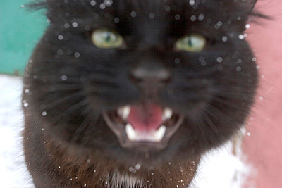 Close-up of an angry cat - p4550437f by Nicklas Blom