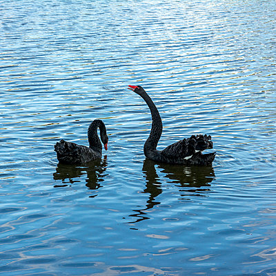 Black swans - p813m1172546 by B.Jaubert