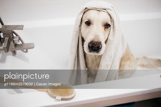 golden retriever bathing in the bathroom - p1166m2279632 by Cavan Images