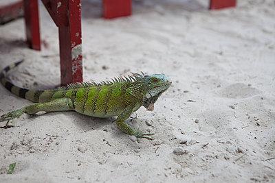 Grüner Leguan am Strand - p045m1564350 von Jasmin Sander
