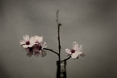Almond twig - p1088m1050171 by Martin Benner