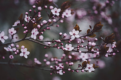 Close-up of cherry blossoms blooming on branches - p1166m1547431 by Cavan Social