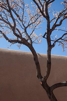 Blühender Baum in Santa Fe - p1514m2089642 von geraldinehaas