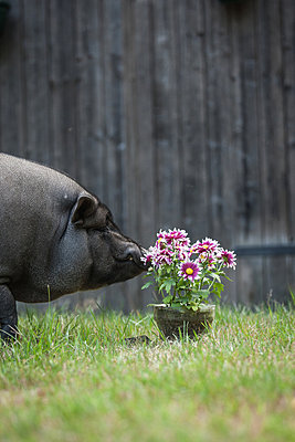 Pig checking a meal - p403m817575 by Helge Sauber