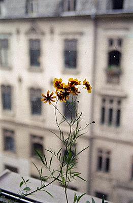 Blume vor Fensterscheibe - p4903097 von Felbert+Eickenberg