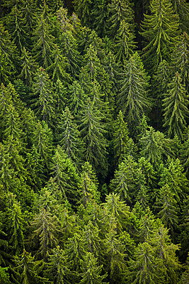 Trees in forest - p555m1479251 by Mike Kemp
