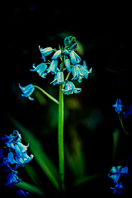 Bluebell - p1047m940447 by Sally Mundy