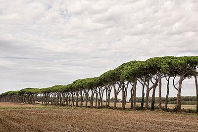 Pinienbäume - p1222m1538282 von Jérome Gerull