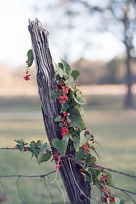 Vine with Heart Shaped Leaves and Berries on Fence Post - p1617m2237808 by Barb McKinney