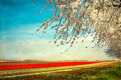 View to tulip fields with blossoming cherry tree in the foreground - p300m961894 by Dirk Wüstenhagen