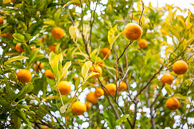 Oranges - p1059m903815 by Philipp Reiss