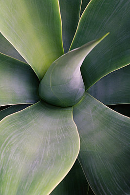 Close up of succulent yucca plant leaves. - p1100m1158454 by Mint Images