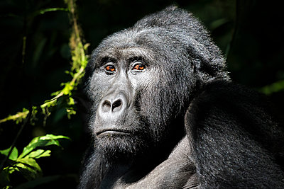 A wild mountain gorilla in the Bwindi Impenetrable Forest - p1100m1216232 by Mint Images