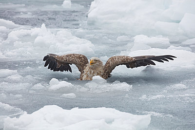 White-Tailed Eagle, Haliaeetus albicilla, hunting on frozen bay in winter. - p1100m1520168 by Mint Images