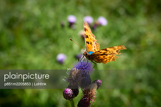 Butterfly on a blossom - p851m2205853 by Lohfink