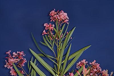 Pink laurel - p1631m2217685 by Raphaël Lorand