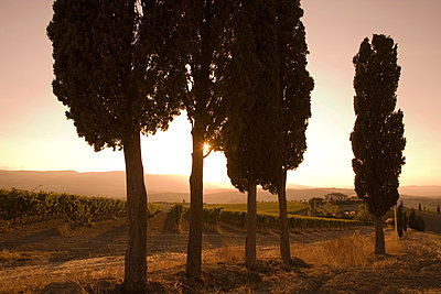 Cypress trees and grapevines, Tuscany, Italy - p429m803048f by WALTER ZERLA