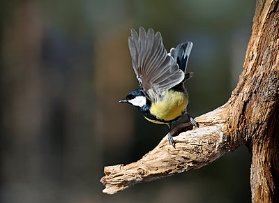 Great tit on branch - p312m2077812 by Ulf Lindmark