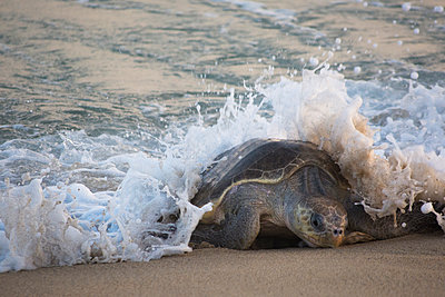 Wave crashing o an Olive Ridley Sea Turtle  - p343m1168117 by Andres Valencia